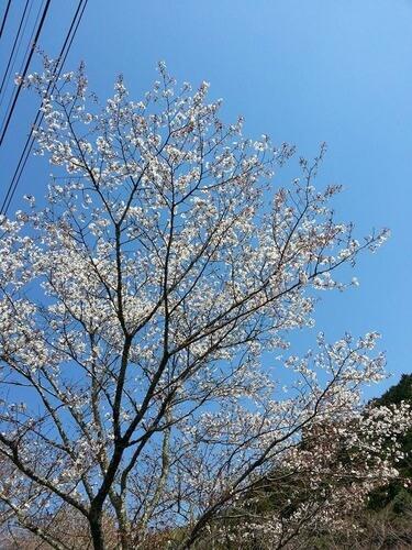 体育館の真下の桜