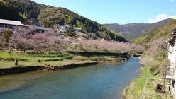 平山 桜情報