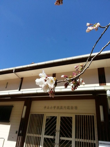 まだ蕾が残る桜の枝
