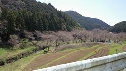 学校橋からの桜の様子