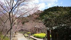 親水公園の奥側からの桜の様子