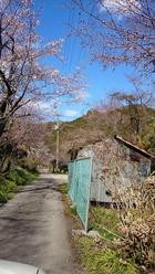 親水公園の入り口付近の桜