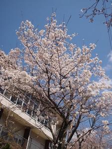 満開になった桜