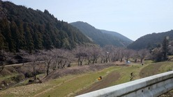 桜の蕾の風景