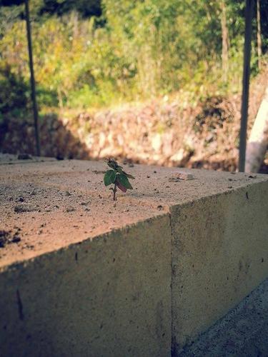 石窯があったレンガの下に芽生える早くも新しい命