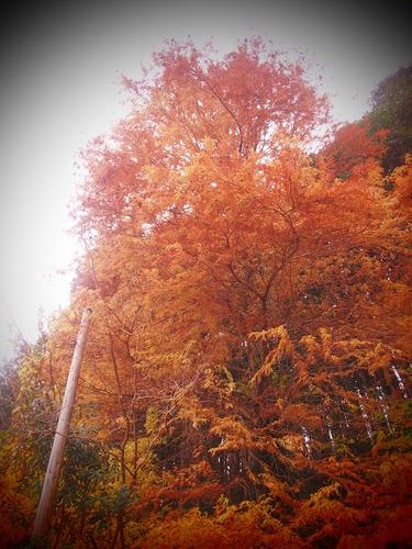 平山地区の数少ない紅葉も見頃