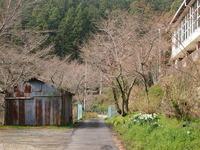 平山の桜の様子