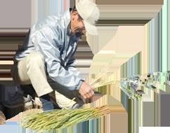 稲を並べるおじいちゃん