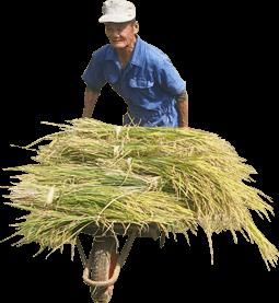 刈り取った稲を運ぶおじいちゃん