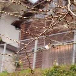 桜さきました