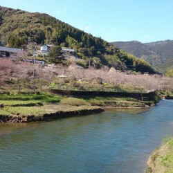 学校橋からの桜