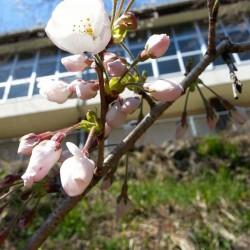 寒いとまだまだ口をすぼめる桜