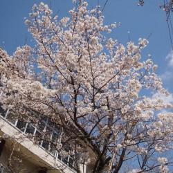 満開に近い桜の様子